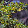 THUMB_Ribes aureum leaves flowers LBJ