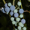 THUMB_Riverbank_Grape_vitis_Riparia_John_Hilty_2