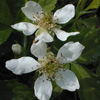 THUMB_Rubus flagellaris flowers JH