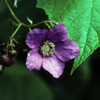 THUMB_Rubus odoratus flower berries LBJ