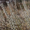 THUMB_Salix humilis flowers LBJ