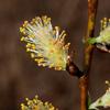 THUMB_Salix sericea flowers LBJ