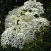THUMB_Sambucus nigra ssp canadensis flowers LBJ
