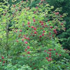 THUMB_Sambucus racemosa leaves berries W