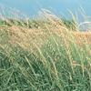 THUMB_Side_oats_gramma_Bouteloua_curtipendula_WIKI