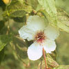 THUMB_Stewartia ovata leaves flower LBJ