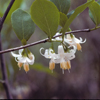 THUMB_Styrax americanus leaves flowers LBJ