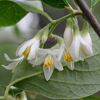 THUMB_Styrax grandifolius flowers SEF