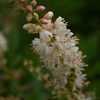 THUMB_Sweet_Pepperbush_Clethra-alnifolia-flowers_WIKI_Sten_Porse