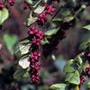 THUMB_Symphoricarpos orbiculatus berries LBJ