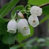 THUMB_Vaccinium corymbosum flowers leaves LBJ