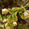 THUMB_Vaccinium pallidum flowers JH