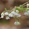 THUMB_Vaccinium stamineum flowers SEF