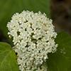 THUMB_Viburnum acerifolium flowers SEF