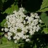 THUMB_Viburnum dentatum flowers SEF