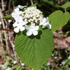 THUMB_Viburnum lantanoides leaves flowers SEF