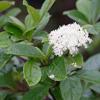 THUMB_Viburnum nudum_var_nudum_ leaves flowers SEF