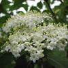 THUMB_Viburnum prunifolium flowers PM
