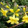THUMB_Yellow_Jessamine_Gelsemium_sempervirens_WIKI