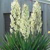 THUMB_Yucca filamentosa flowers leaves W
