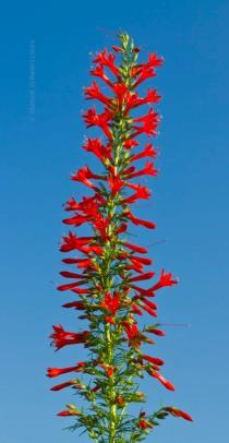 standing-cypress-flowering-9853[1]