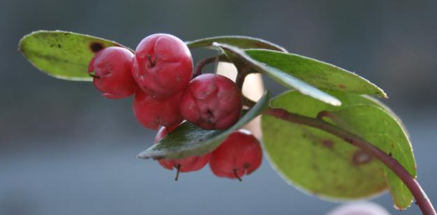 Gaultheria procumbens