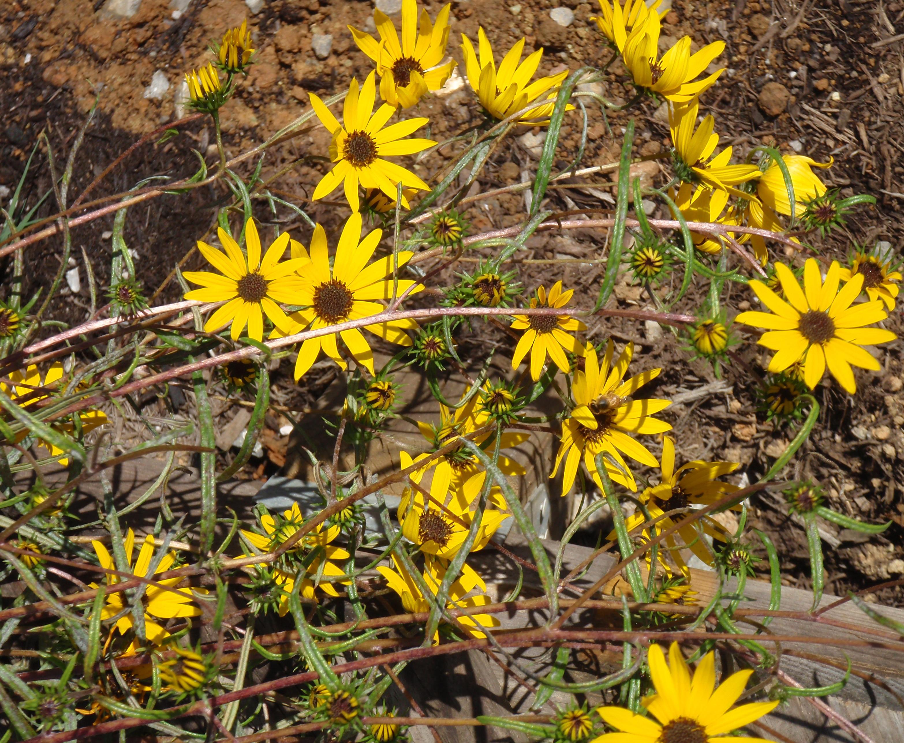 Narrow Leaved Sunflower Swamp Sunflower Tennessee Smart Yards