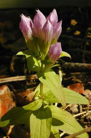 Gentianella quinquefolia (Gentiana quinquefolia)