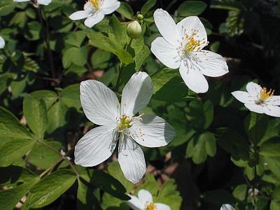 Enemion biternatum (Isopyrum biternatum)