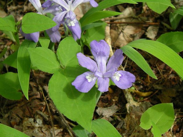 Iris cristata