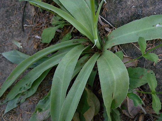 Manfreda virginica (Agave virginica)