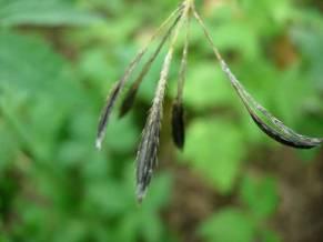 Osmorhiza claytonia
