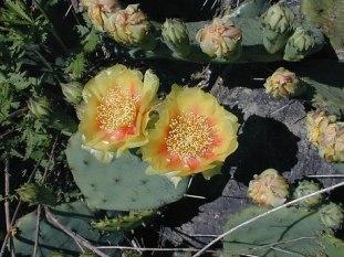 Opuntia humifusa (Opuntia compressa)