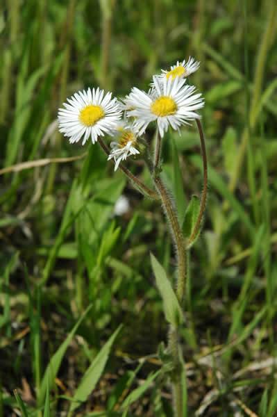eryngium pulchellus