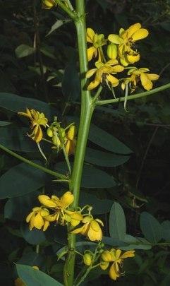 Senna marilandica (Cassia marilandica)