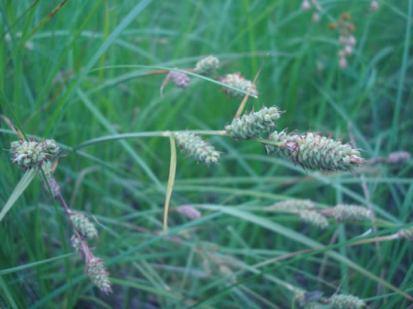 Carex buxbaumii