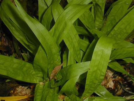Carex plantaginea