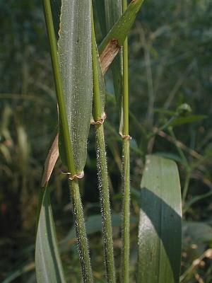 Elymus villosus
