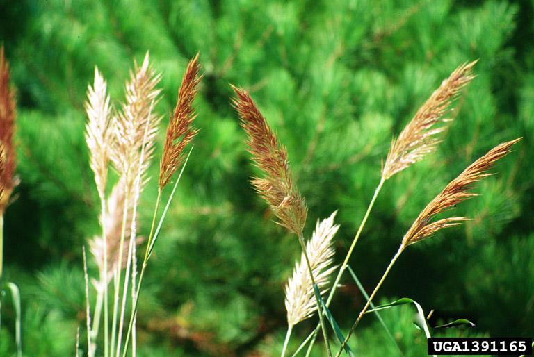 Bent-awn Plumegrass, Sortbeard Plumegrass | Tennessee ...