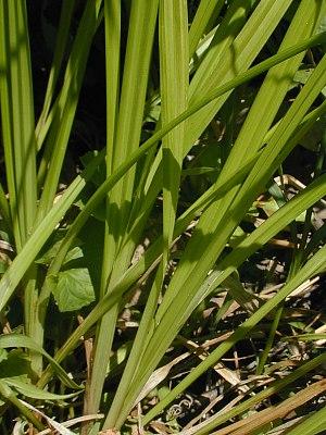 Carex conjuncta