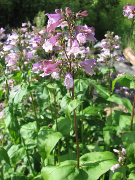 Bear Valley Ca >> Calico Beardtongue, Longsepal Beardtongue | Tennessee Smart Yards Native Plants
