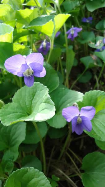 Viola sororia
