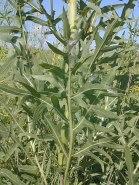 Silphium laciniatum