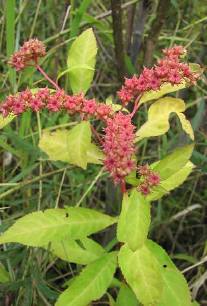 Penthorum sedoides