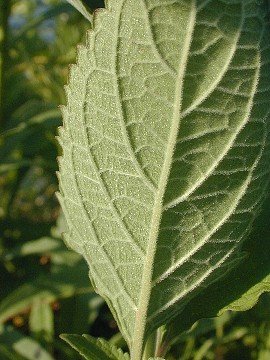Scutellaria incana