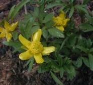 Ranunculus fascicularis