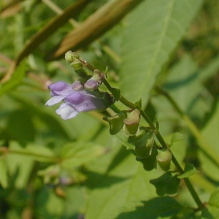 Scutellaria lateriflora