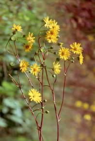 Silphium terebinthinaceum