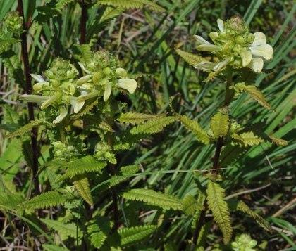 Pedicularis lanceolata