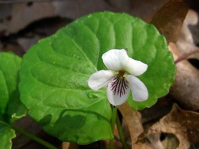Viola blanda